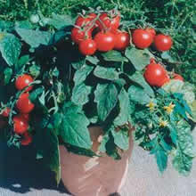 Image of Thompson and Morgan Balconi Red Tomato Seeds