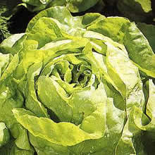 Image of Thompson and Morgan Lettuce : Butterhead : All The Year Round Seeds