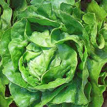 Image of Thompson and Morgan Lettuce : Arctic King Seeds