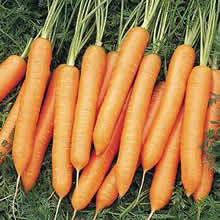 Image of Thompson and Morgan Carrot : Nigel F1 Hybrid Seeds