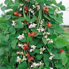Image of Thompson and Morgan Bean : Runner Bean : Summer Medley Seeds