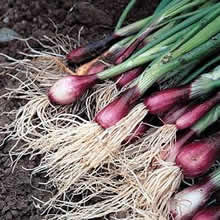 Image of Thompson and Morgan Onion : Salad Onion Apache (Deep Purple) Seeds