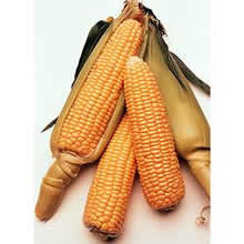 Image of Thompson and Morgan Sweetcorn : Conquerer F1 Hybrid (Supersweet) Seeds