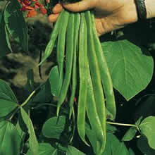 Image of Thompson and Morgan Bean : Runner Bean : Red Rum Seeds