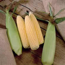 Image of Thompson and Morgan Sweetcorn : Extra Tender & Sweet F1 Hybrid Seeds