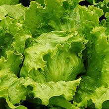 Image of Thompson and Morgan Lettuce : Lakeland Seeds