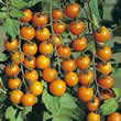Small Image of Thompson and Morgan Sungold F1 Tomato Seeds