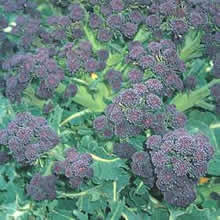 Image of Thompson and Morgan Summer Purple Broccoli Seeds