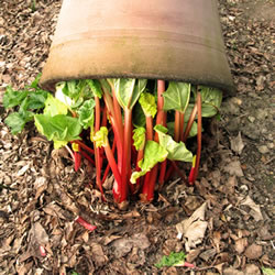 Extra image of 60cm Terracotta Rhubarb Forcer / Clay Cloche
