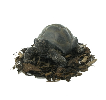 Pet Pals Baby Tortoise - Resin Garden Ornament - Spin Image
